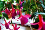Комнатный цветок - фуксия