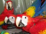 Красный ара - ручные птенцы из питомников